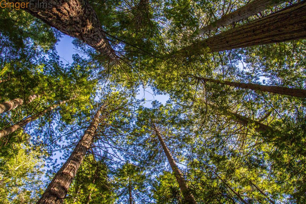Crowd of Redwoods GF.jpg