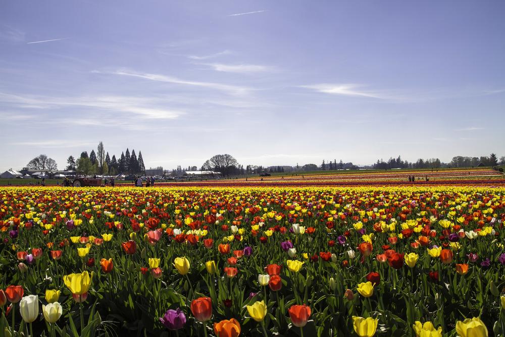 Rainbow Tulips.jpg