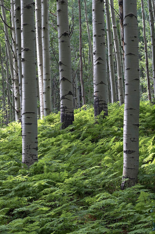 Enchanted Ferns