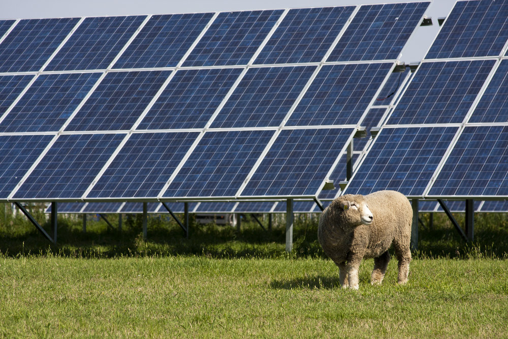 Livestock, like sheep and chickens, can graze safely in a solar field, which helps farmers maximize their land.