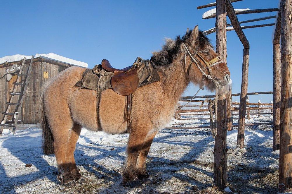 A_Yakutian_horse_(9762345674).jpg