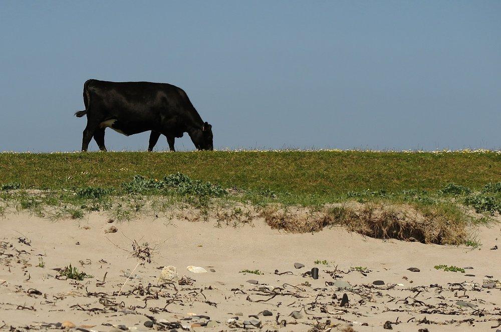 cow-550058_1280.jpg