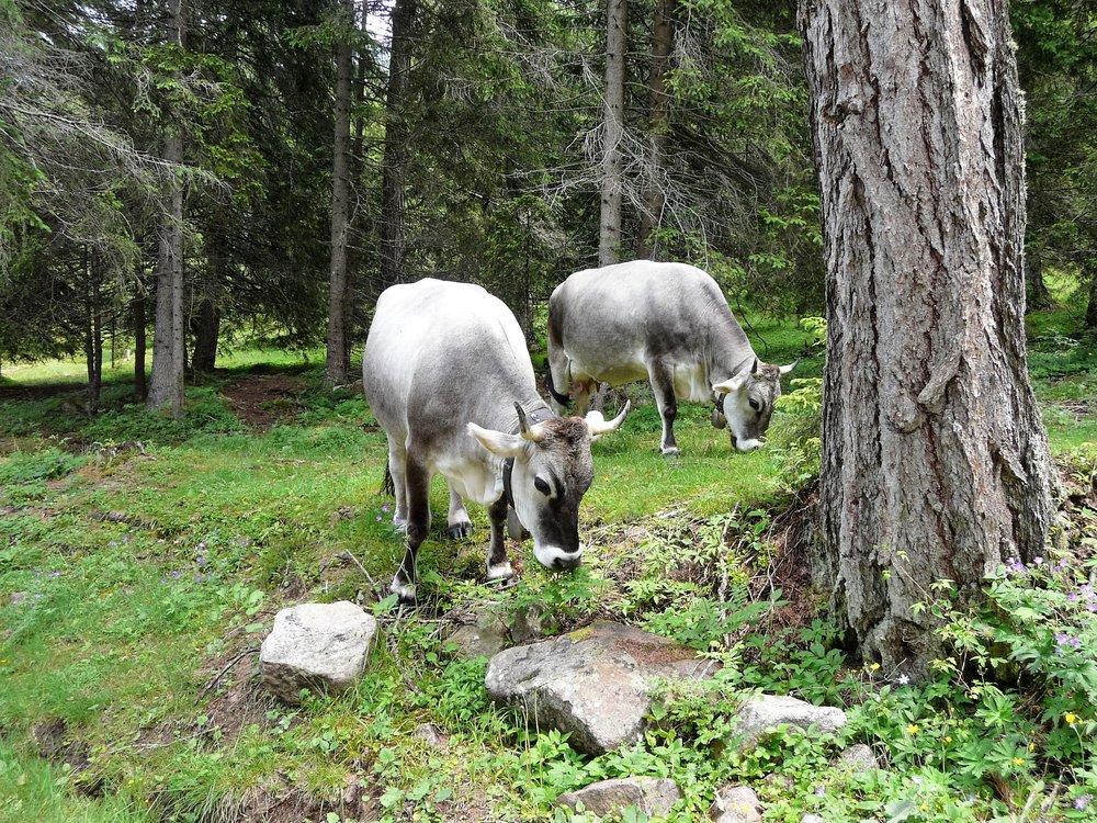 animals-cows-forest-216420.jpg