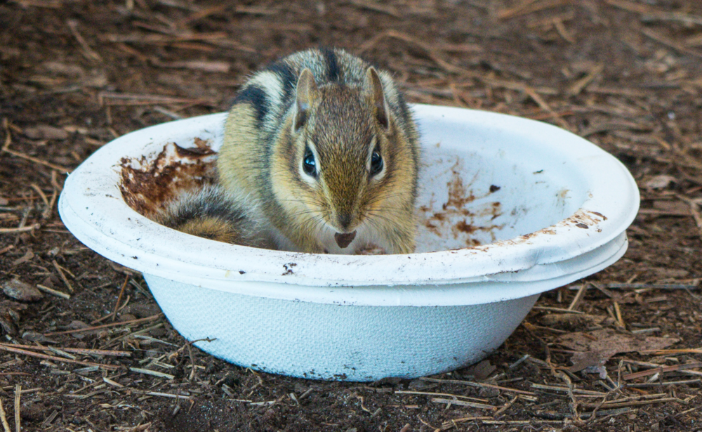 A rather cute chipmunk eating our breakfast!  Photo by Anna