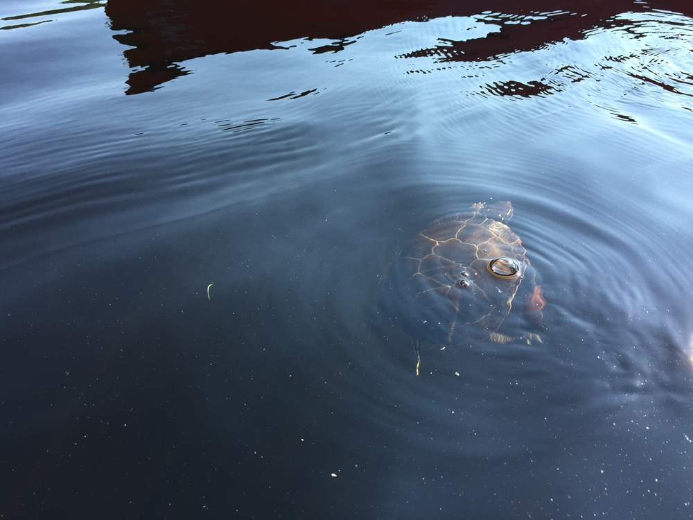 """Zoom"" the turtle trying to swim with a clam stuck to his right forefoot.."