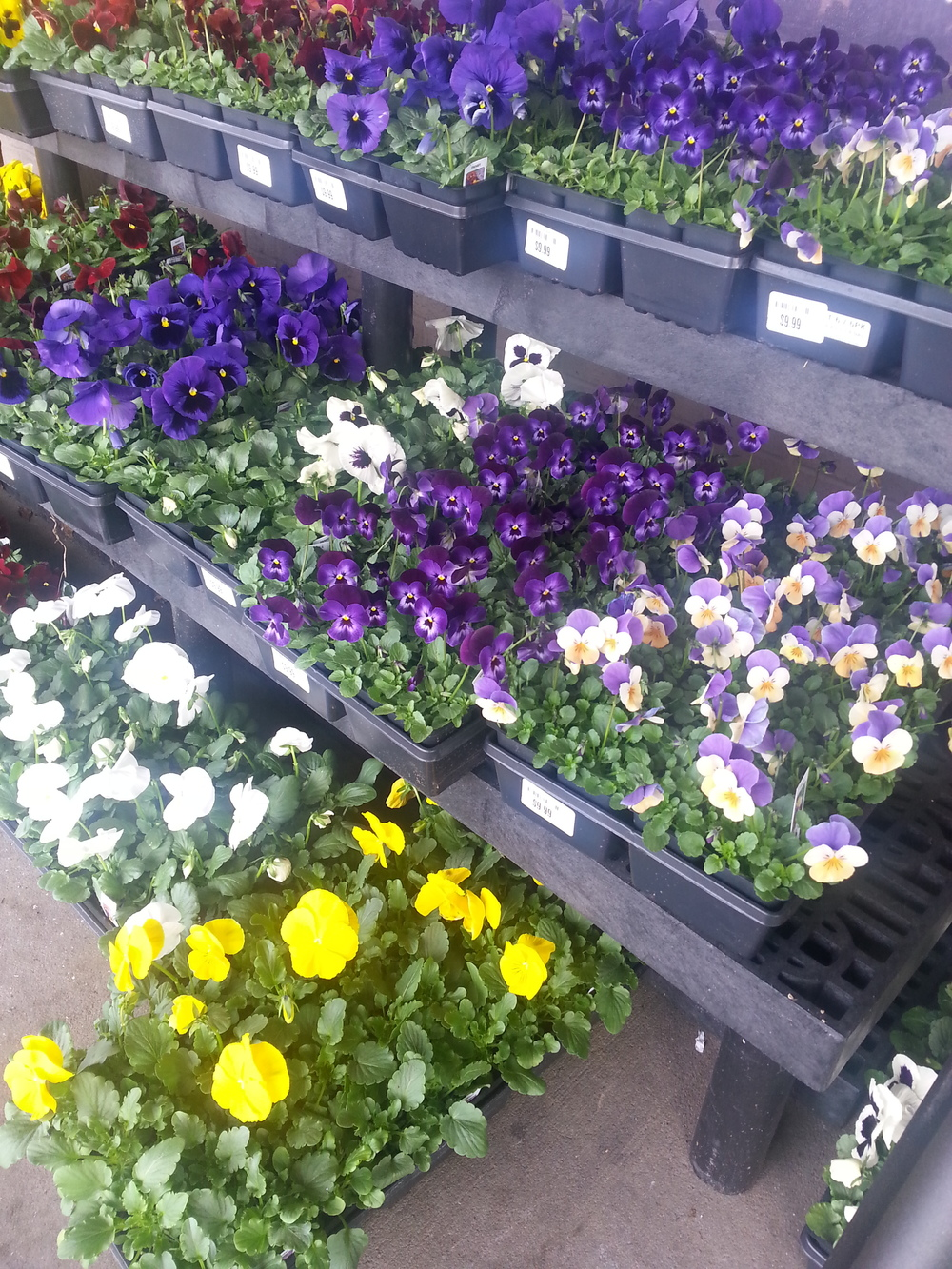 Flats of pansies are popping up everywhere.