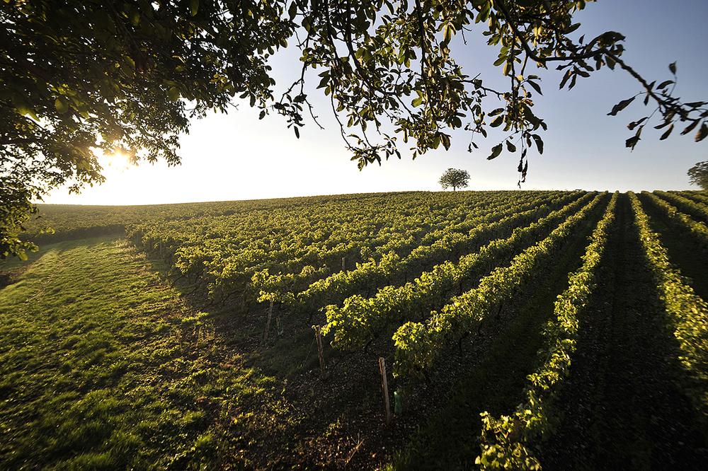 Picture 2_Drouet vineyards.jpg