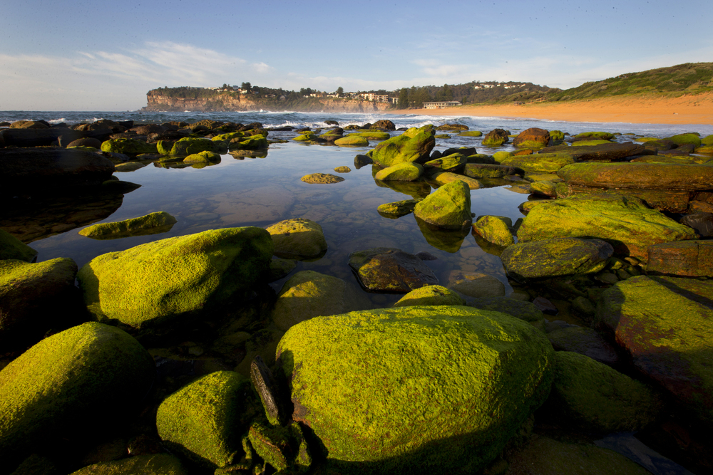 The algae on the rocks around the peninsular has been a standout this spring. Greenest of greens. The low tide here really showcasing the mossy rocks at the North end of Avalon Beach.