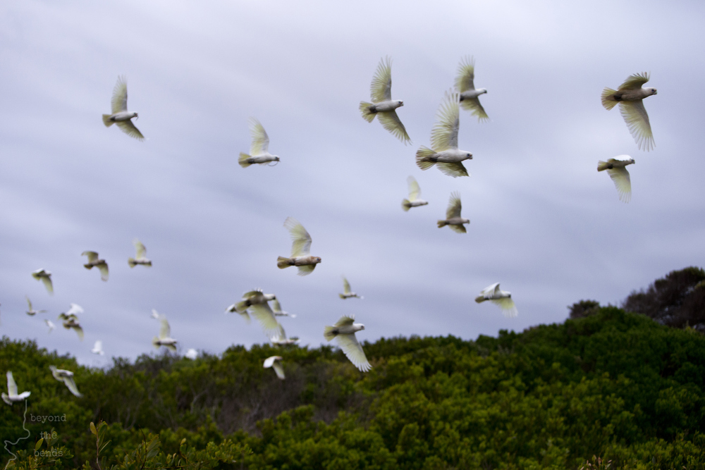A flock of Corellas make a break for it after being spooked out of the scrub up on the Avalon Beach sand dunes.