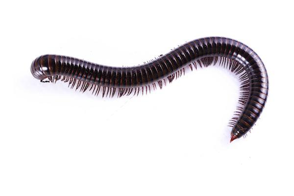 Millipede control