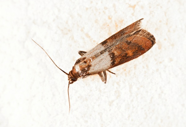 "The indian Meal moth - a common ""pantry moth"""
