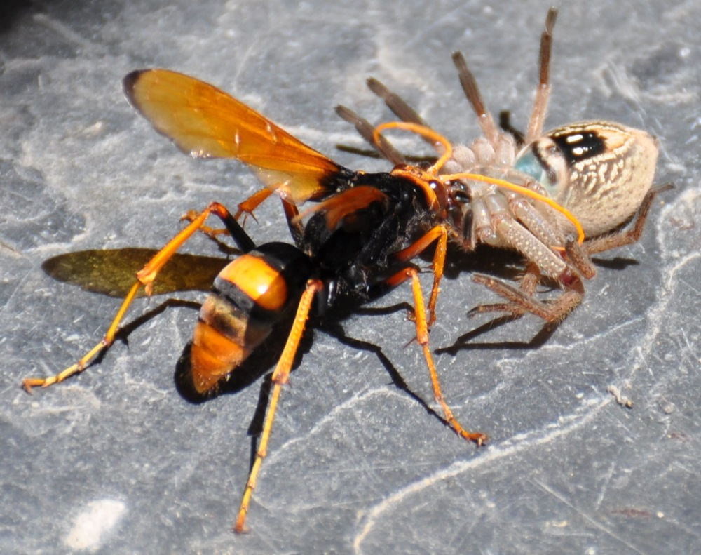 Mud dauber wasp taking spider back to its nest