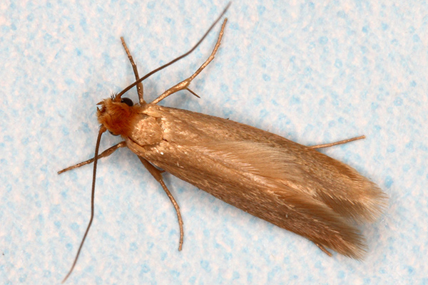 Adult (webbing) clothes moth