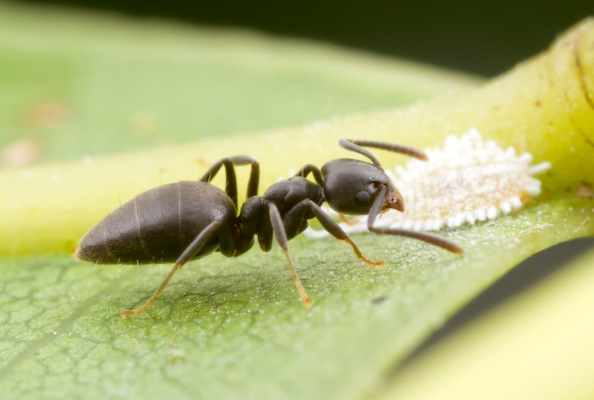 Dull black ant