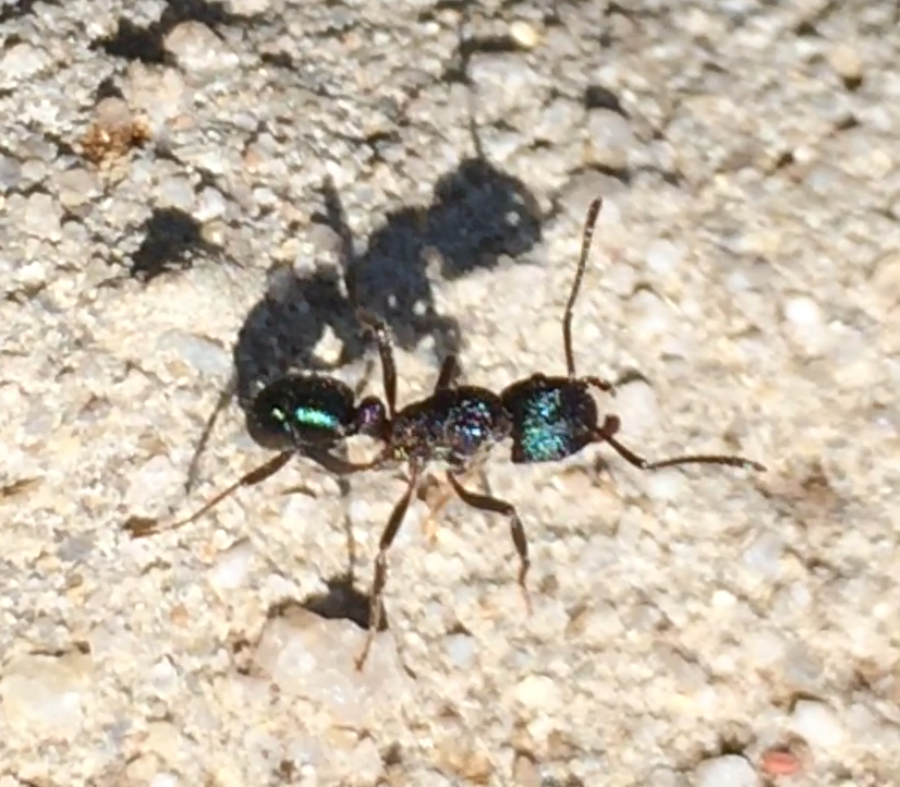 Green headed ants deliver a painful sting