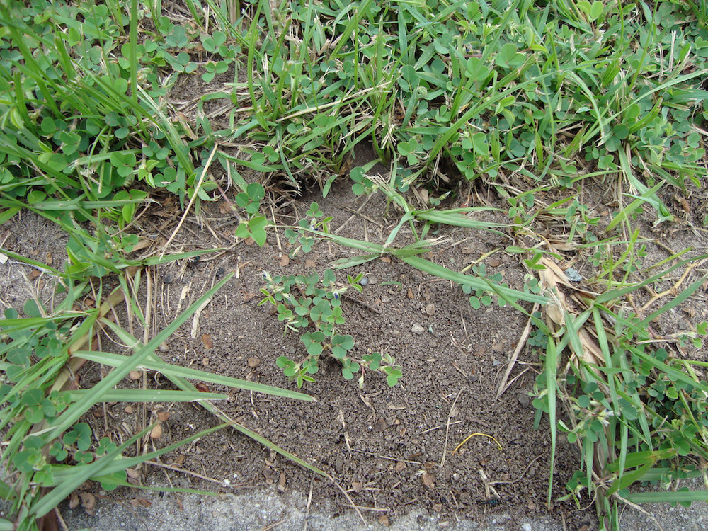 Green headed ant nest in a lawn