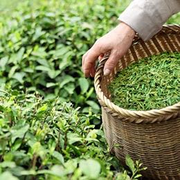 Picking-Tea-Leaves.jpg