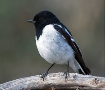 Hooded Robin- One of many woodland species vulnerable in NSW