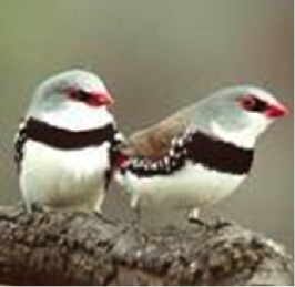 Diamond firetails - vulnerable in NSW