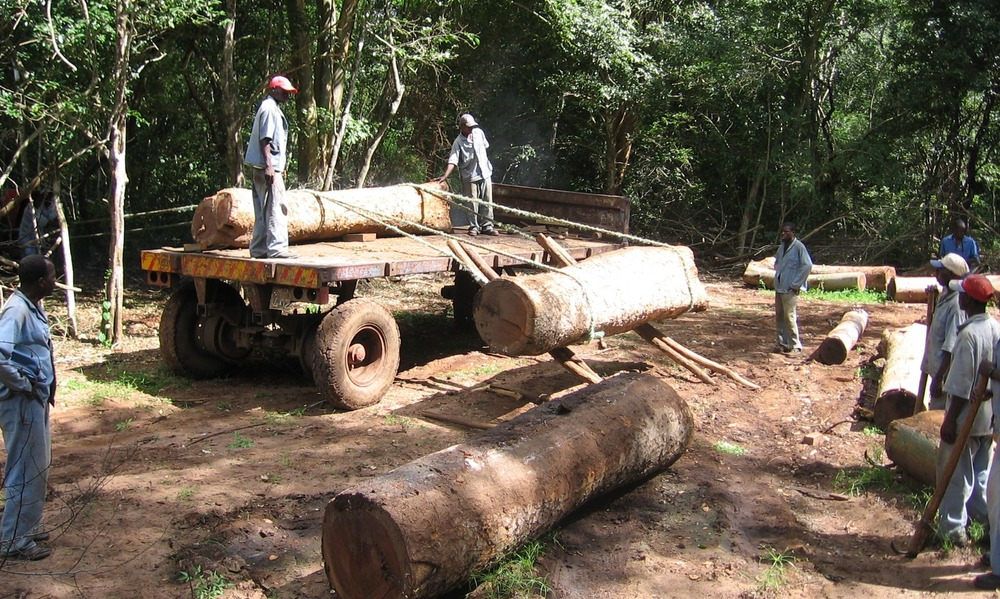 O carregamento é feita manualmente para evitar maquinaria pesada   -  All loading done manually to avoid heavy equipment on the forest floor