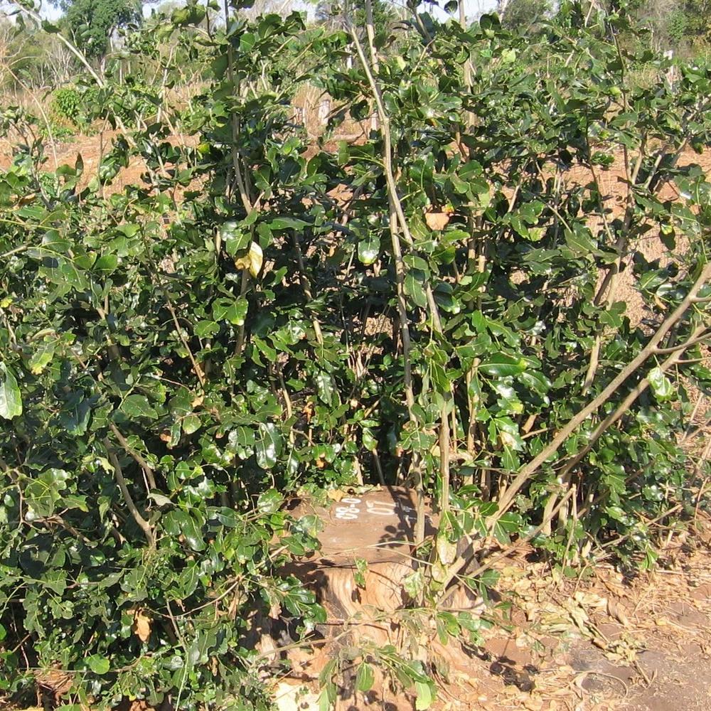Um cepo não gerenciado, tanto pode desenvolver-se em pequenos arbustos ou morrer    An unmanaged stump, the coppice either grows into a small bush or dies