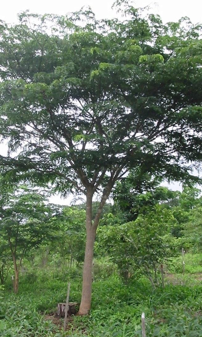 Gestão de coppice em Mutondo-   Mutondo managed coppice