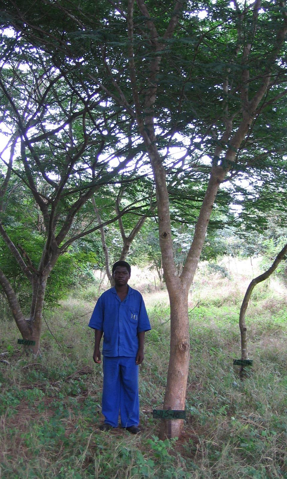 Wild Mango plantado pela TCT Dalmann -Wild Mango planted by TCT Dalmann