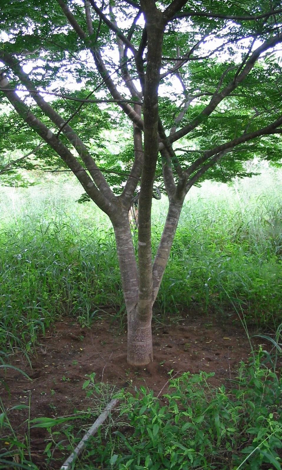Wild Mango plantado pela TCT Dalmann -  Wild Mangoplanted by TCT Dalmann