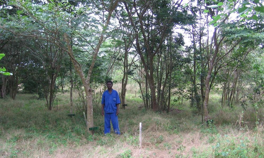 Wild Mango plantado pela TCT Dalmann -  Wild Mango tree planted by TCT Dalmann