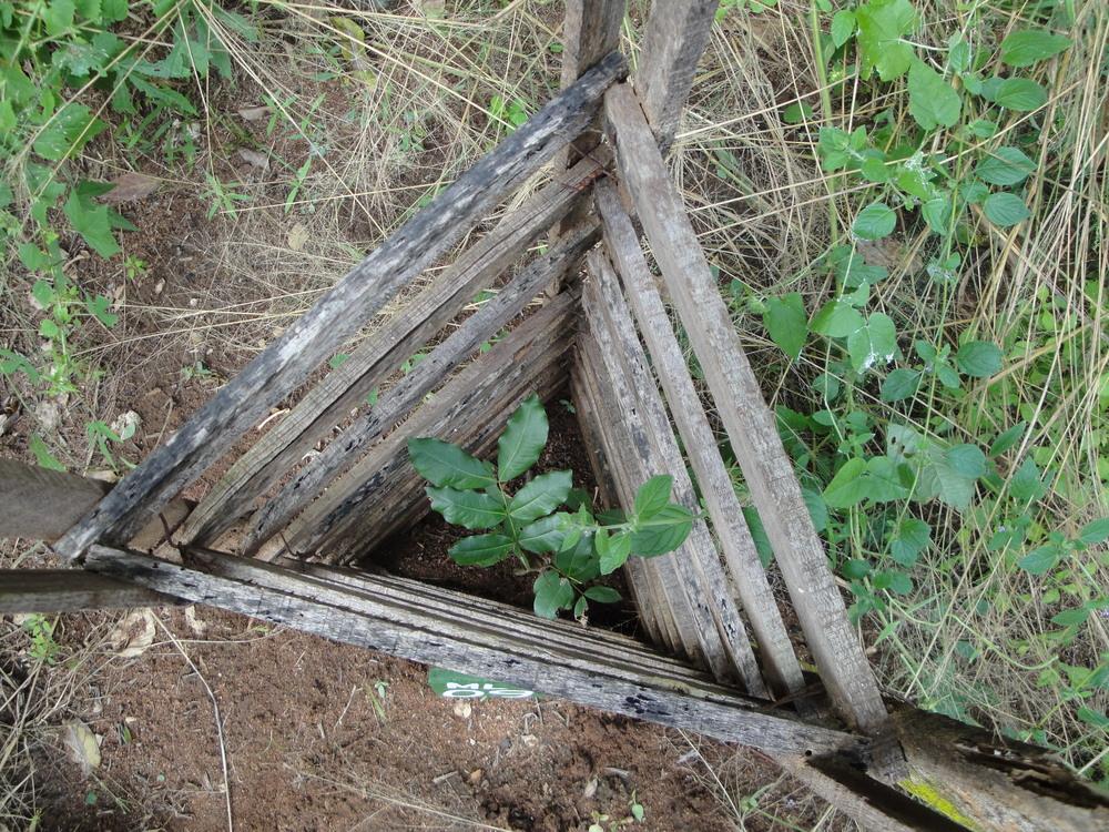 Onde é necessário as árvores têm protecções contra os porcos-espinhos, pois estes comem as jovens árvores  - Where necessary trees are protected from Porcupines who eat the young saplings