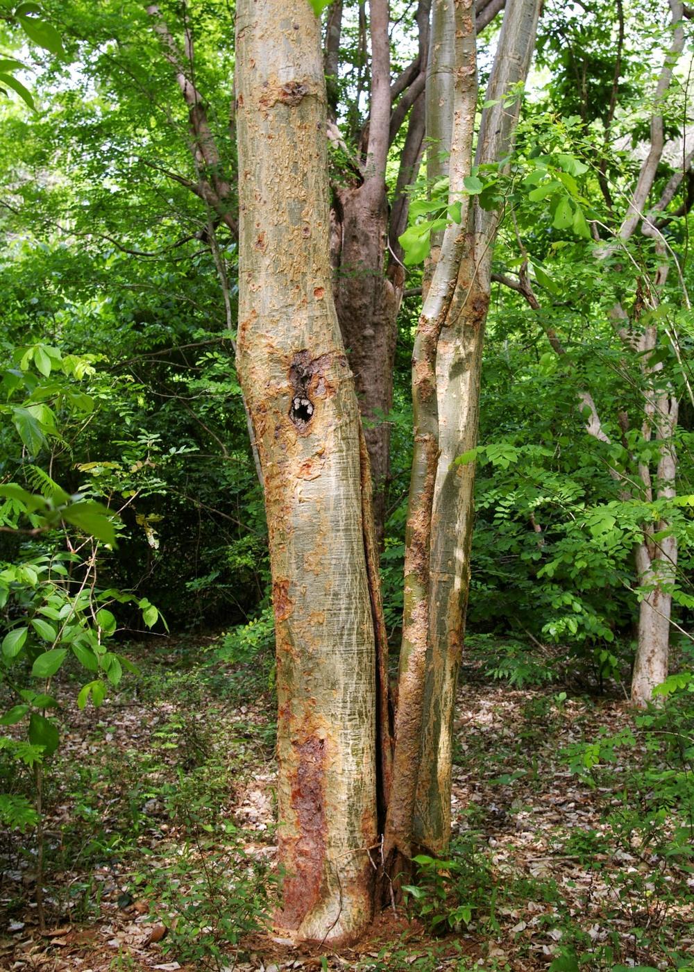 Panaga Panga Tree