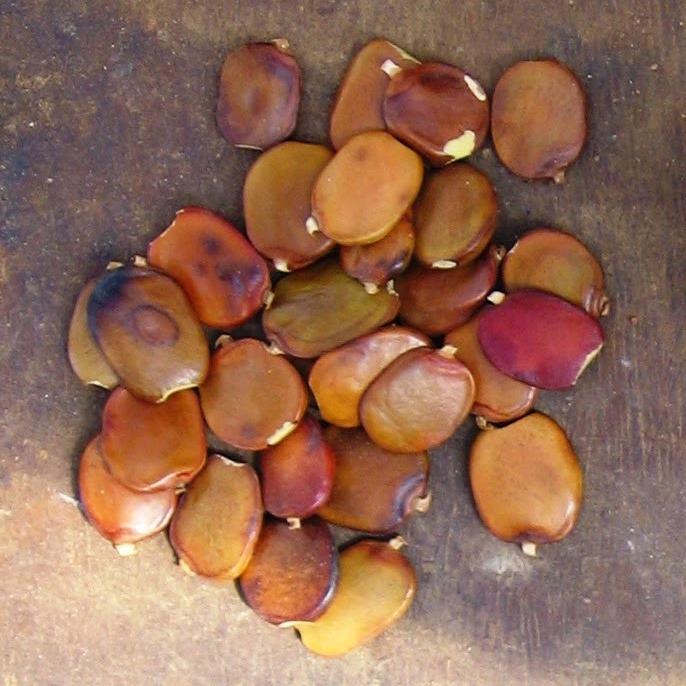 Panga Panga seeds