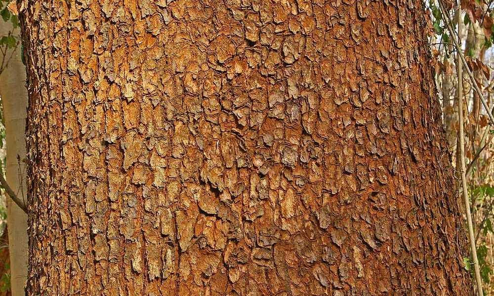 Wild Mango bark