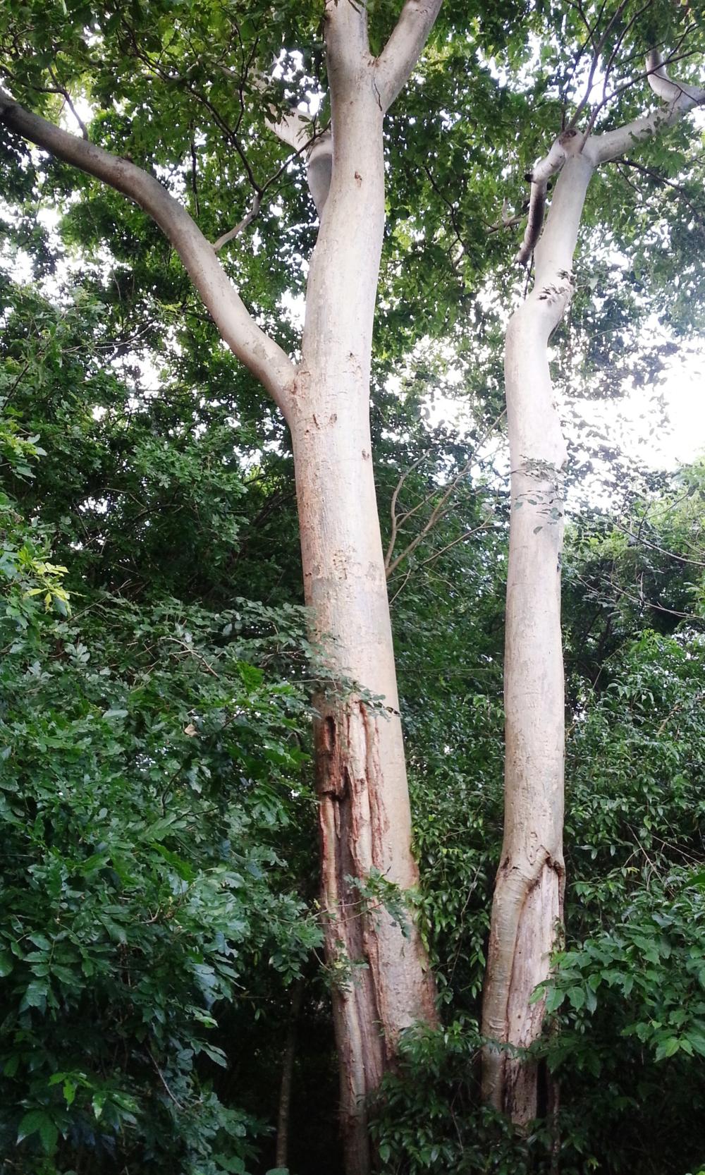 Panga Panga Tree