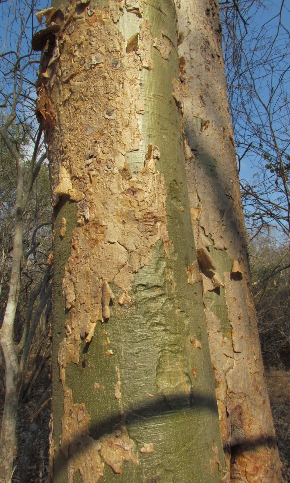Panga Panga bark