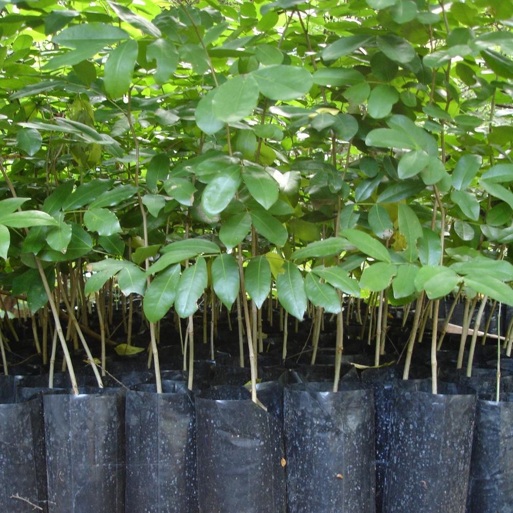 Chamfuta saplings