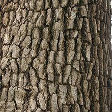 Leadwood bark