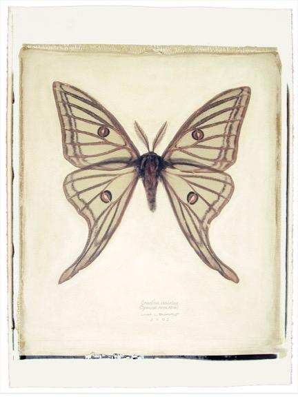 145 1-5 Graellsia isabellae copy.jpeg