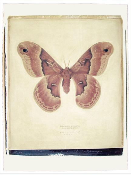 149 1-4 Callosamia prometheus copy.jpeg