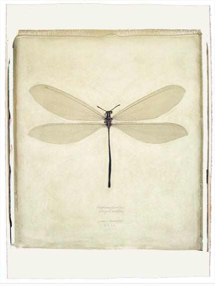 158 1-5 Hagenomia tristis copy.jpeg