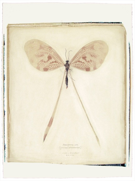 159 1-5 Nemoptera coa copy.jpeg