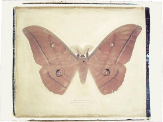 151 2-4 Antheraea yamamai copy.jpeg