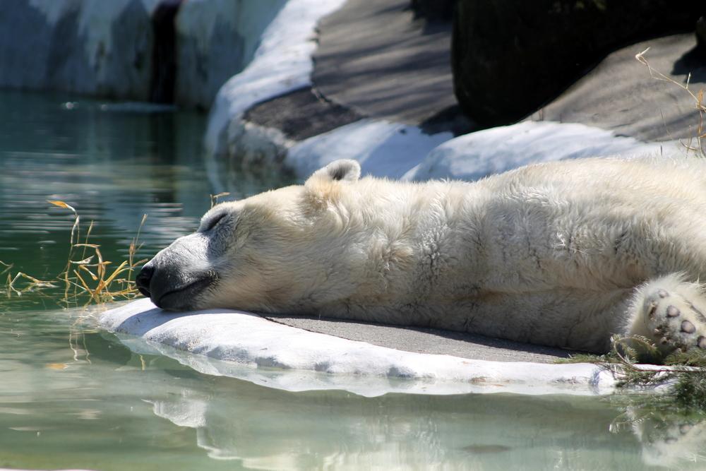 Sleepy bears at the Bronx Zoo. Image Jessica Gordon Ryan