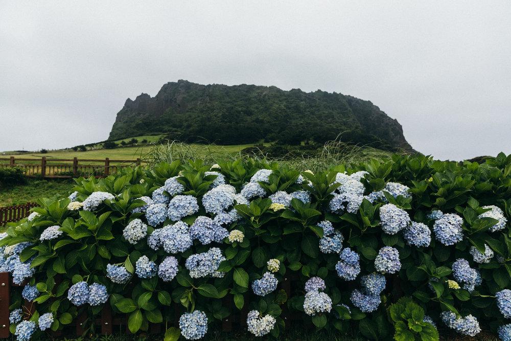 Hydrangea Mountain