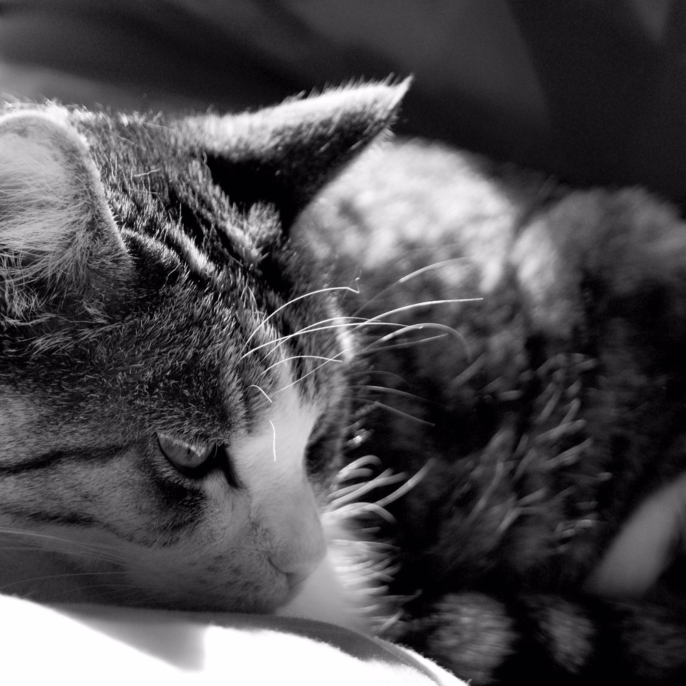 Sleepy Tigs in the sun by Miss Sammie Designs #cat #pet #animal #photography