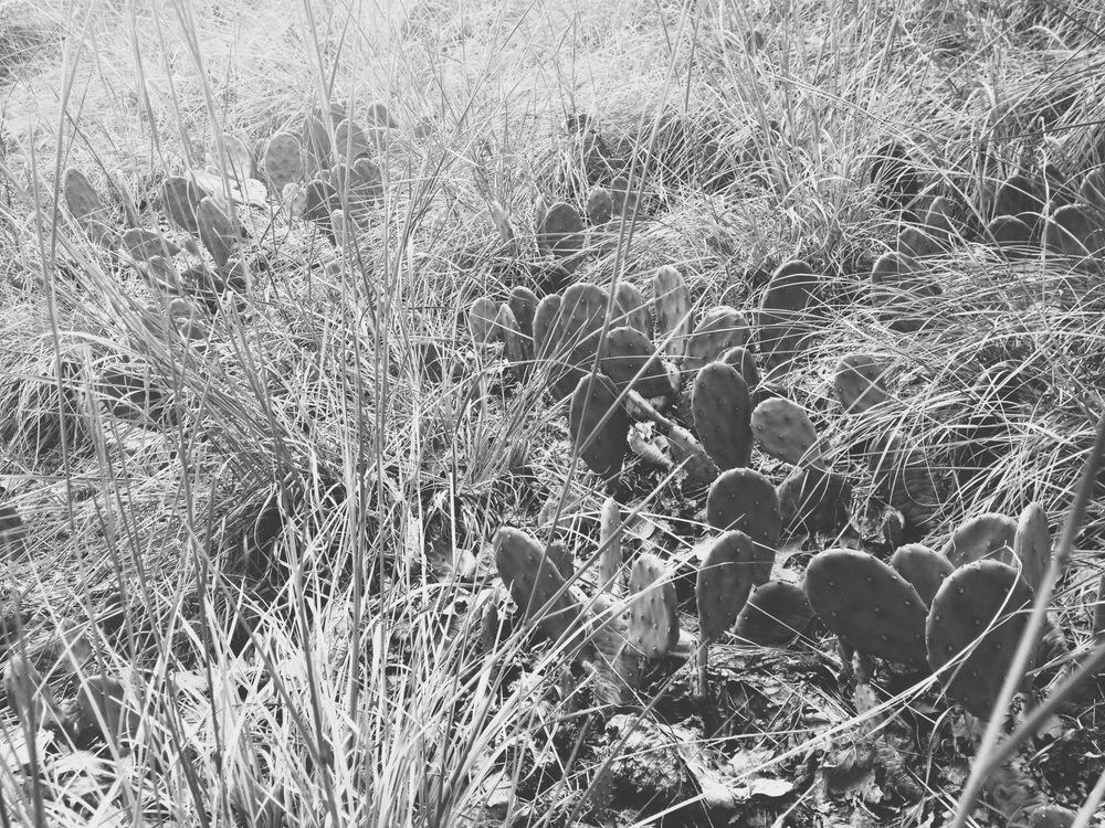 Opuntia humifusa with  Schizachyrium scoparium, Iona Island, Hudson Valley National Estuarine Research Reserve NY