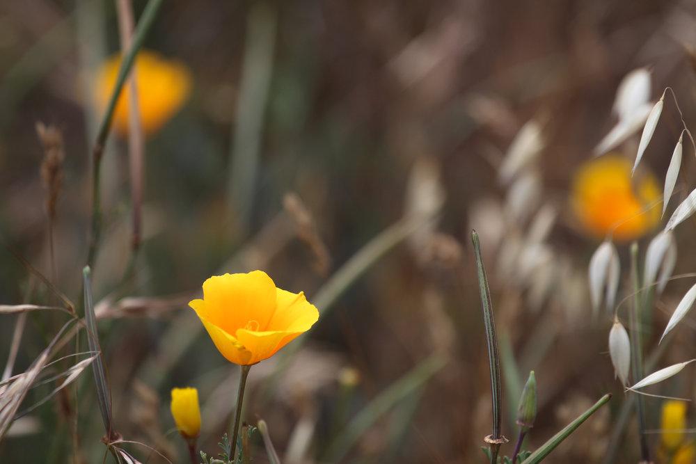 Forgotten Poppy - Holli Z Photography.jpg