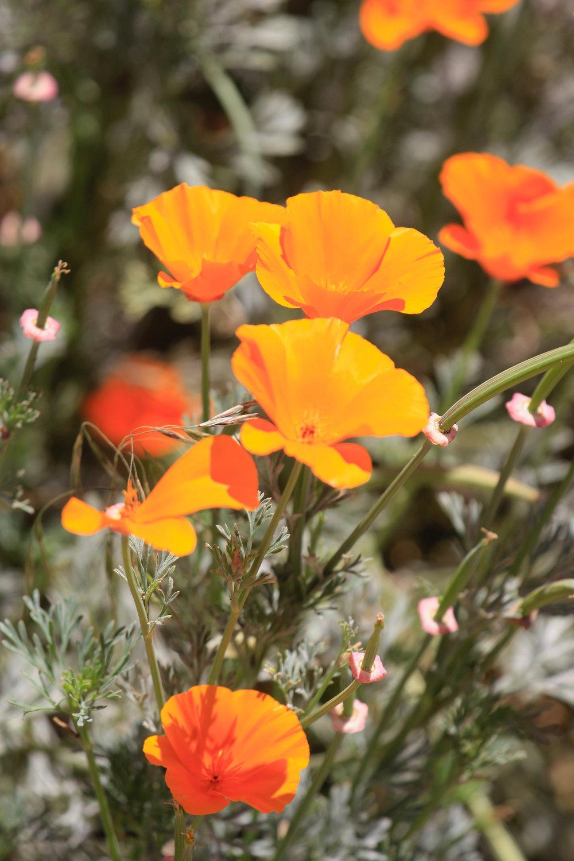 Poppin Poppies - Holli Z Photography - 1.jpg