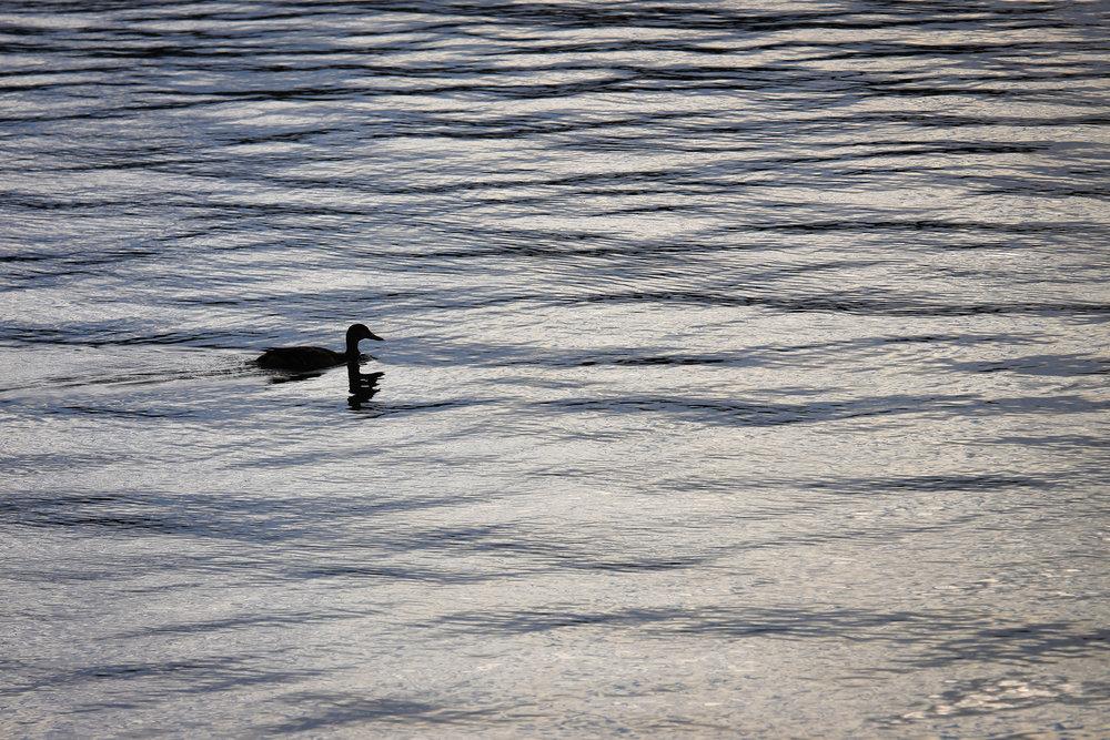Duck - Holli Z Photography - 1.jpg