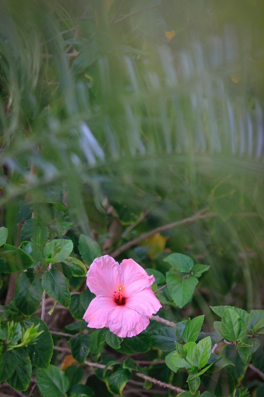 Hibiscus - Holli Z Photography - 1.jpg